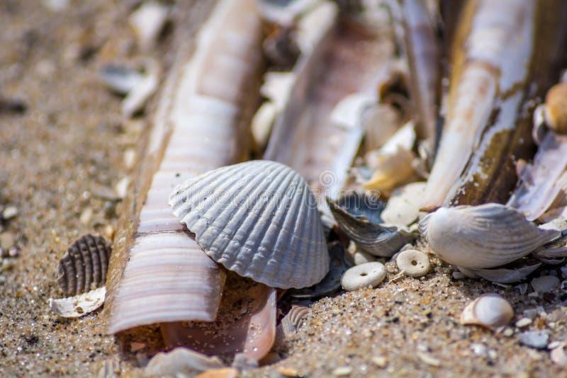 竹蛏和扇贝壳 免版税库存照片