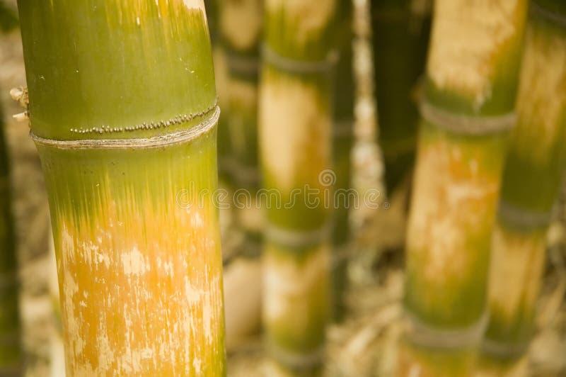 竹bambus mcclu ventricosa 库存图片