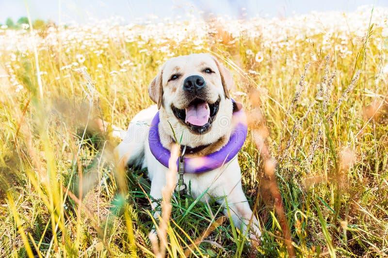 笑和在草甸的逗人喜爱的拉布拉多狗 免版税库存照片