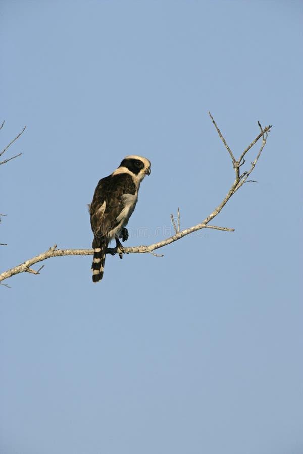 笑的猎鹰, Herpetotheres cachinnans 免版税库存照片