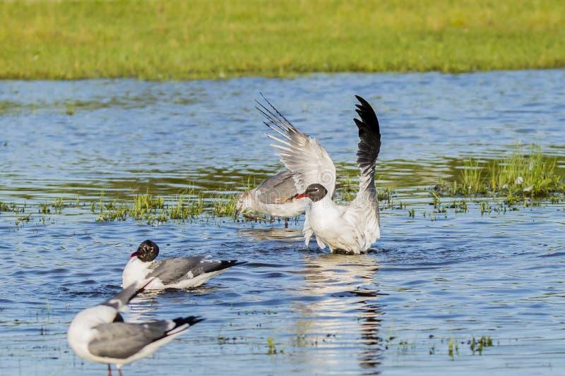 笑的鸥外形在助长全身羽毛拍动的 免版税库存照片