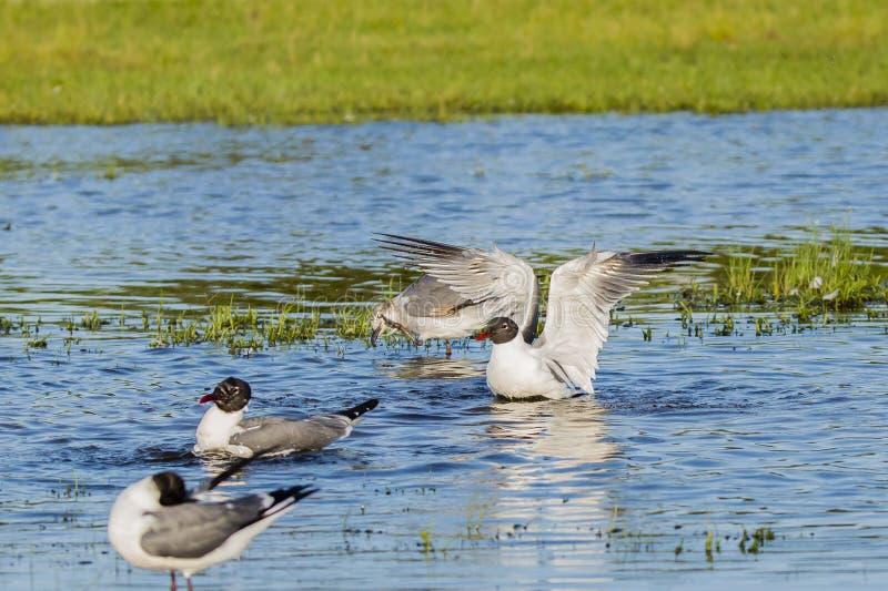 笑的鸥行为在养殖全身羽毛的 库存图片