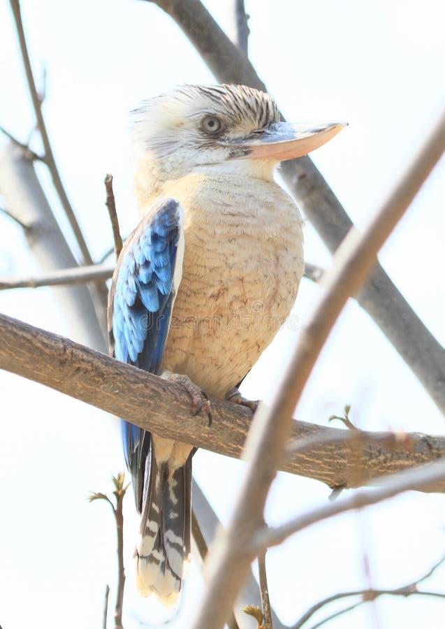 笑的kookaburra 库存图片