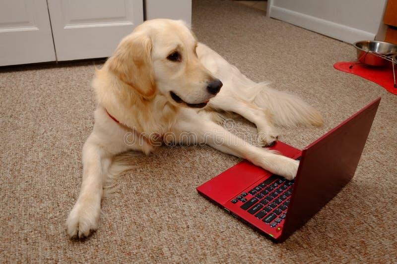 笔记本电脑上的金毛犬