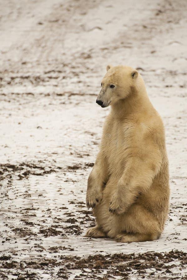 笔直泥泞的北极熊的开会 免版税图库摄影