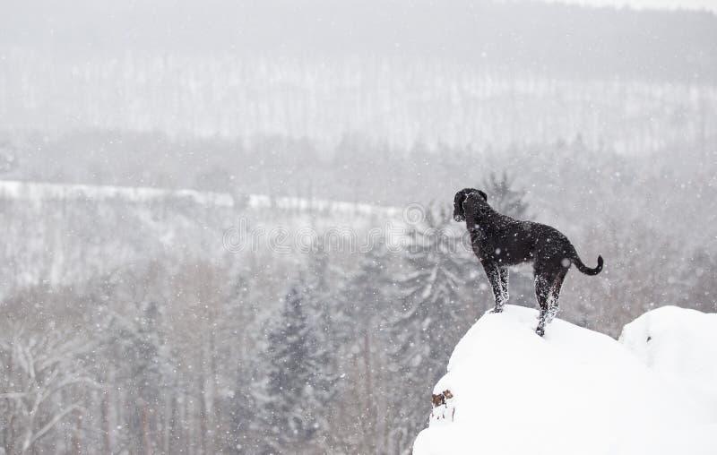 黑笨蛋狗外面在冬天雪 免版税库存图片