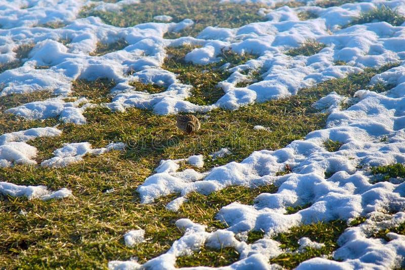 第一只早期的鸟(天空百灵(云雀属arvensis)从南部到达了 库存照片