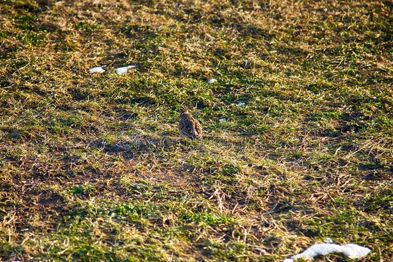 第一只早期的鸟(天空百灵(云雀属arvensis)从南部到达了 图库摄影