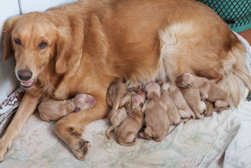 第一天与说谎新的狗的妈妈的金毛猎犬小狗  图库摄影