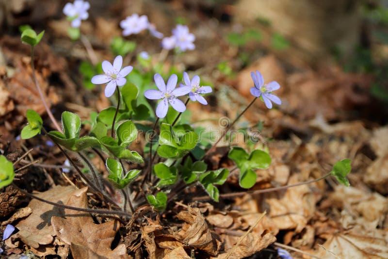 第一小蓝色snowdrops在春天森林开了花 免版税库存照片