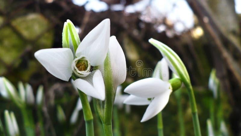 第一春天在庭院, sunli里开花,白色,开花的snowdrops 图库摄影
