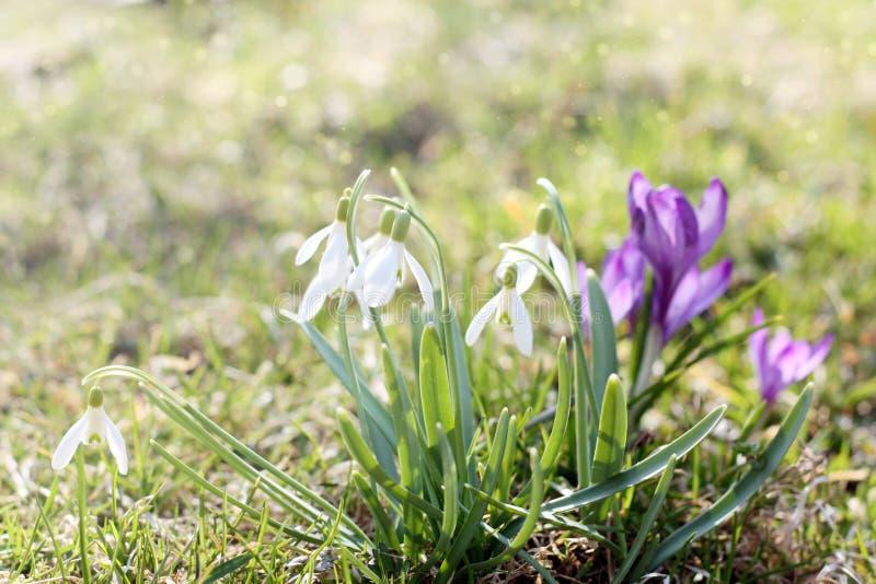 第一春天在草甸, snowdrops的芽,开花唤醒在阳光下的自然的标志 轻定调子,发亮 库存照片