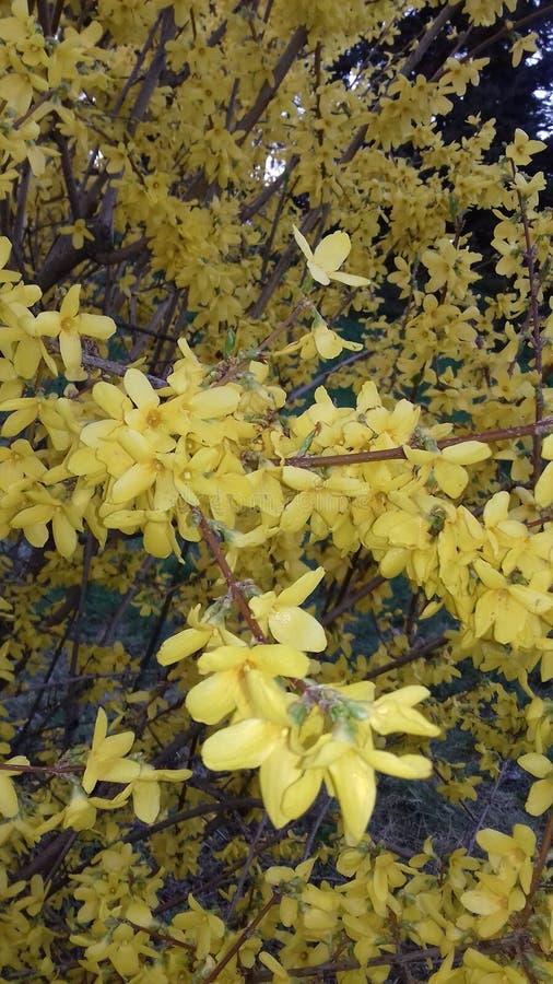 第一春天开花-明亮的黄色连翘属植物 库存图片