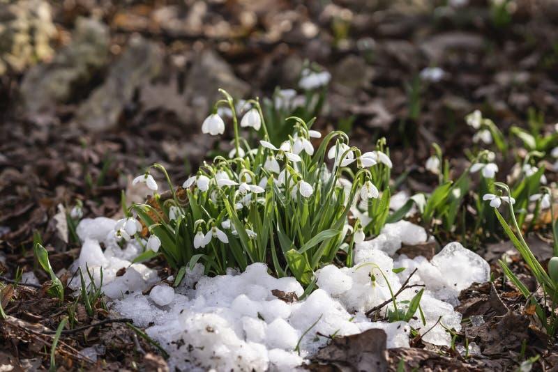 第一朵嫩报春花,在雪特写镜头的狂放的snowdrops特写镜头 第一棵春天植物的概念,季节,天气 免版税库存照片