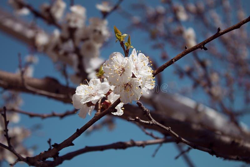 第一朵开花的花在庭院里 免版税库存照片