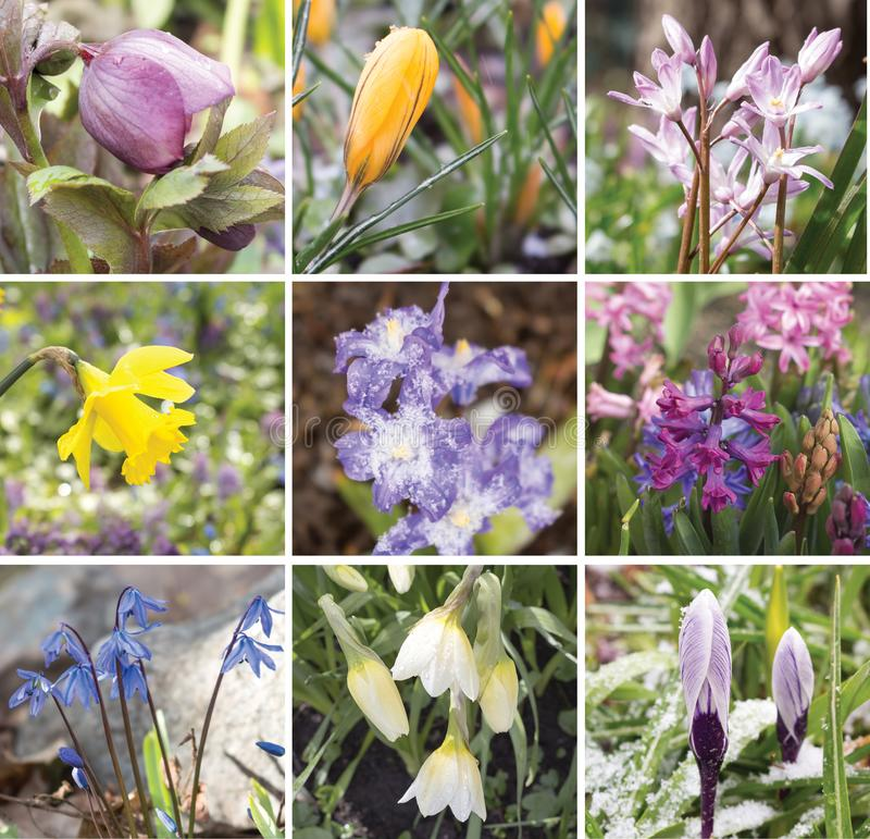 第一朵春天花的拼贴画 免版税库存照片