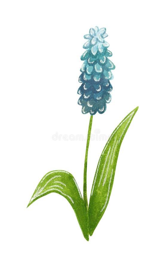 第一朵春天花蓝色穆斯卡里,手拉的水彩例证 库存例证