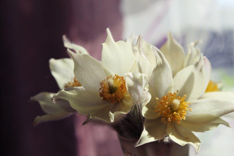 第一朵春天花- snowdrops! 库存照片