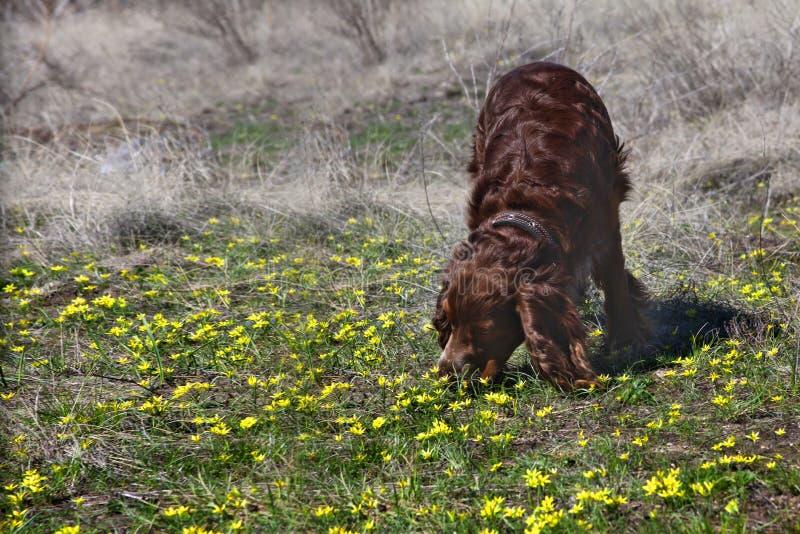 第一朵花甚而在宠物导致欢欣 免版税库存图片