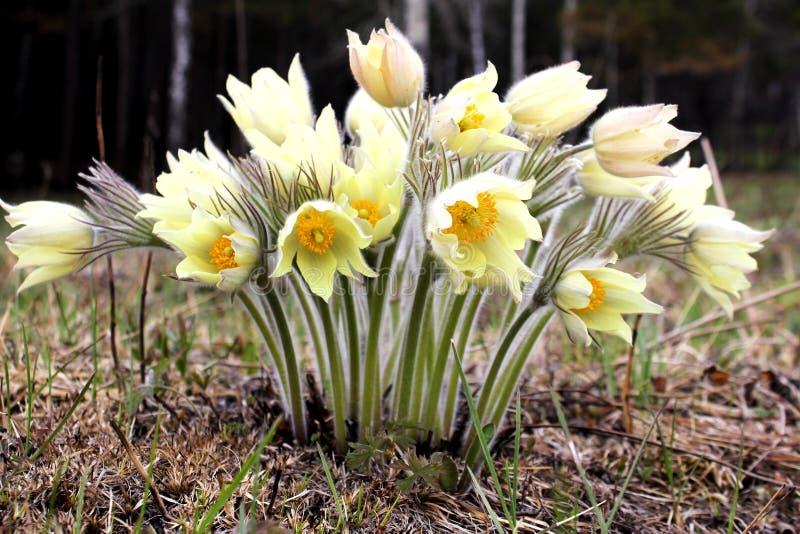 第一朵花 黄色snowdrops在西伯利亚森林里 免版税库存图片