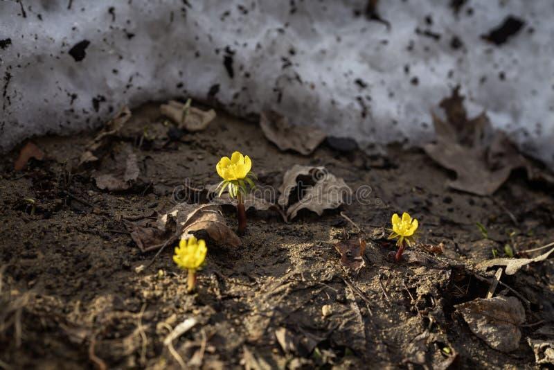 第一棵嫩菟葵属,精美野生报春花,雪 第一棵春天植物,季节,天气 背景蒲公英充分的草甸春天黄色 免版税库存照片