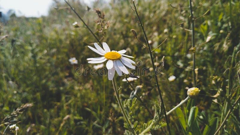 第一棵春黄菊 库存照片