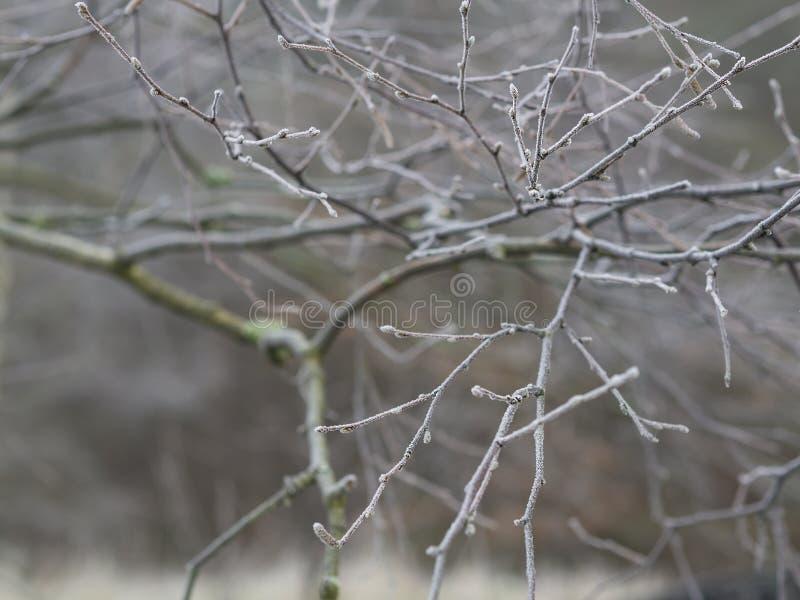 第一霜-接近的霜结冰的光秃的樱桃树分支sno 图库摄影