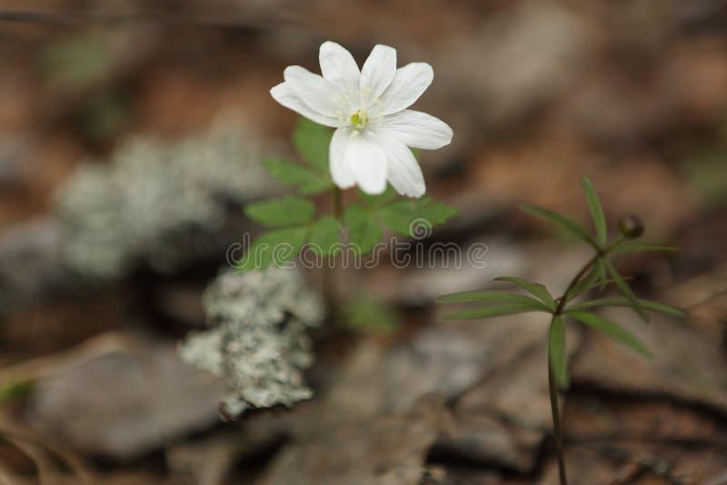 第一领域春天花银莲花属 库存图片