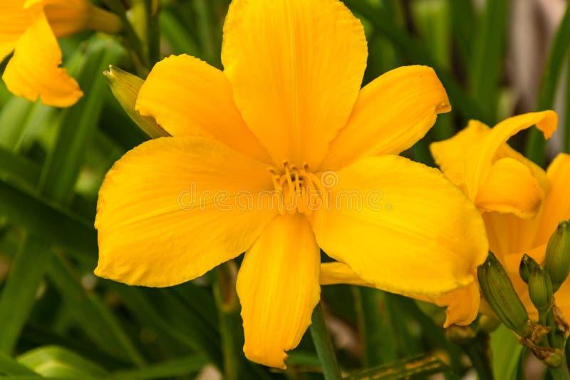 第三个黄色百合在专属百合庭院里 图库摄影
