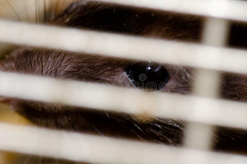 笼中大鼠褐家鼠 免版税库存照片