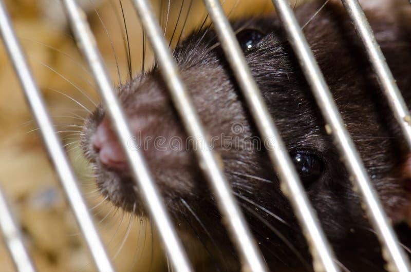 笼中大鼠褐家鼠 库存照片