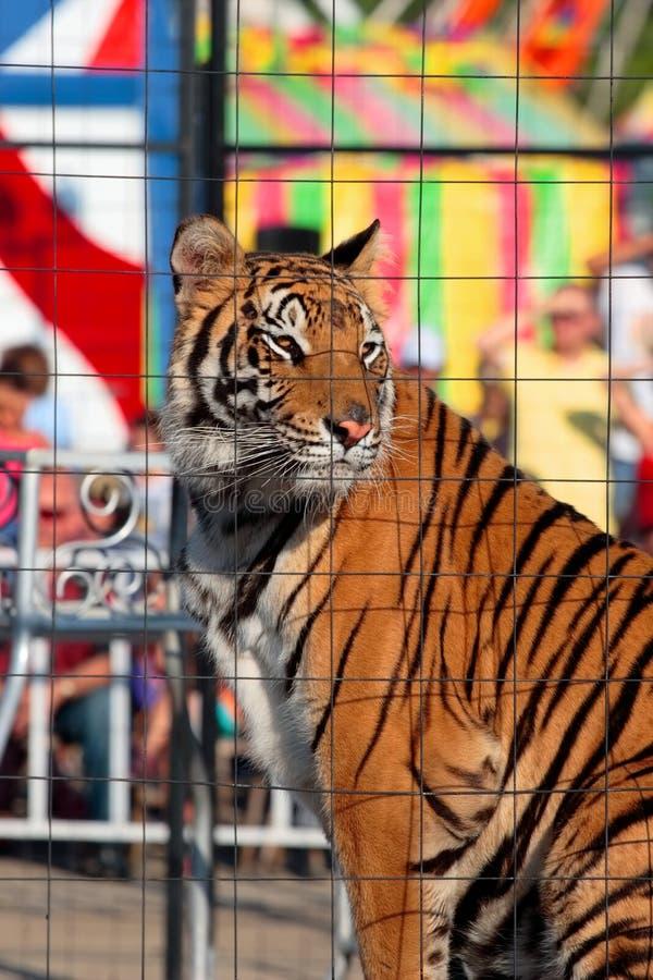 笼中的显示老虎 免版税图库摄影