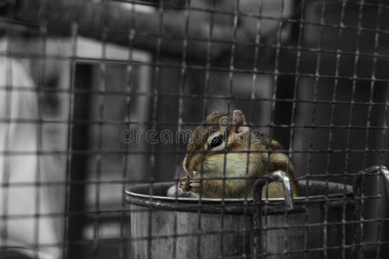 笼中的灰鼠 库存图片