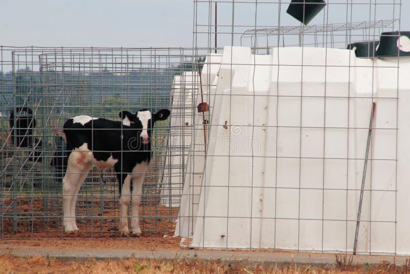 笼中的牲口 库存图片
