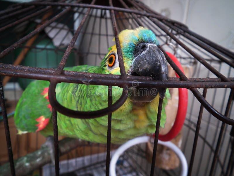 笼中的鹦鹉 免版税库存图片