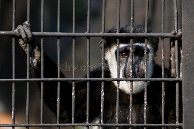 笼子猴子 免版税库存照片