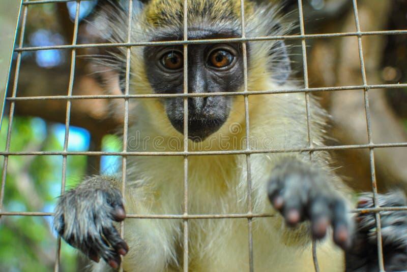 从笼子的猴子伸手可及的距离 免版税库存图片