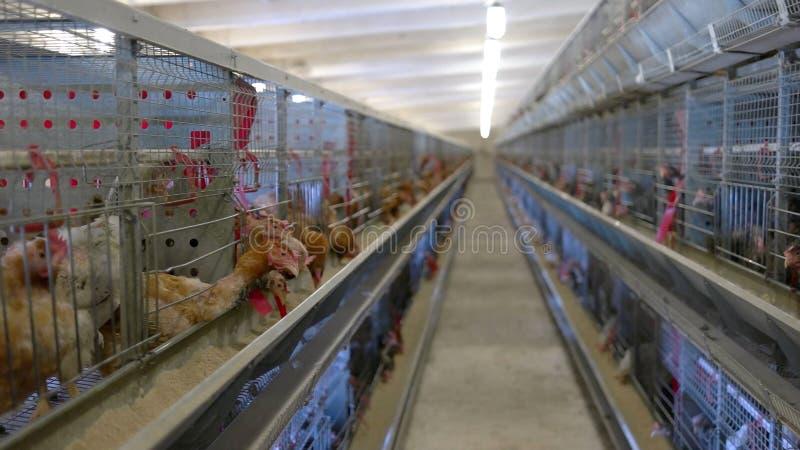 笼子行与母鸡的 免版税库存照片