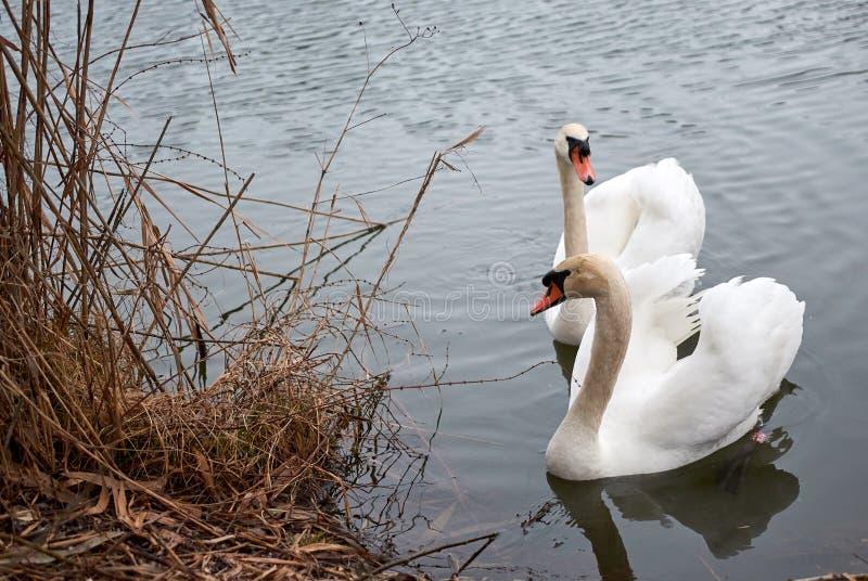 等候在湖的天鹅夫妇冬天 库存照片