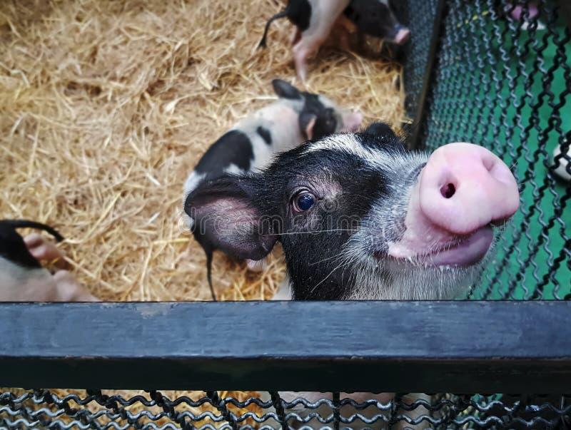 等待一些牛奶的大角度观点的逗人喜爱的小猪 免版税库存照片
