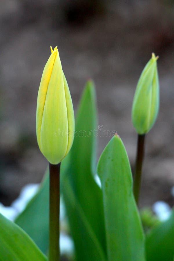 等待两充分地闭合的郁金香在地方庭院里打开和开花包围与高深绿叶子和其他植物 免版税图库摄影