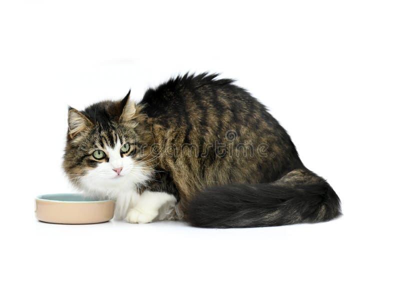 等待他的食物的猫 免版税库存照片