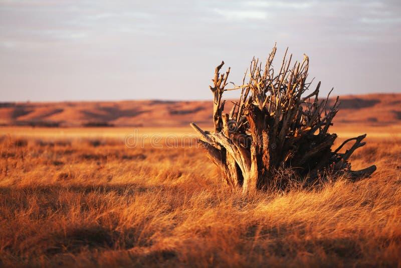 等待在大草原日落的漂流木头 库存照片