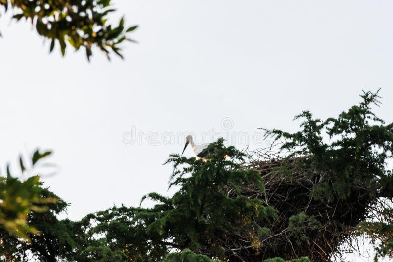 等待在它的在钟楼的巢的鹳 免版税图库摄影