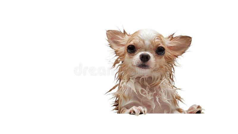 等待在木盆的小逗人喜爱的棕色奇瓦瓦狗狗在采取a以后 库存图片