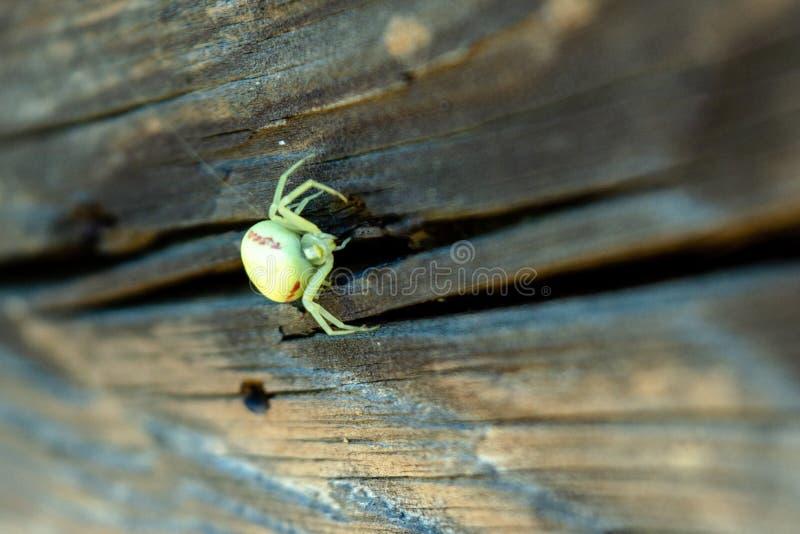等待在木篱芭的Thomisidae白色蜘蛛牺牲者 免版税库存照片