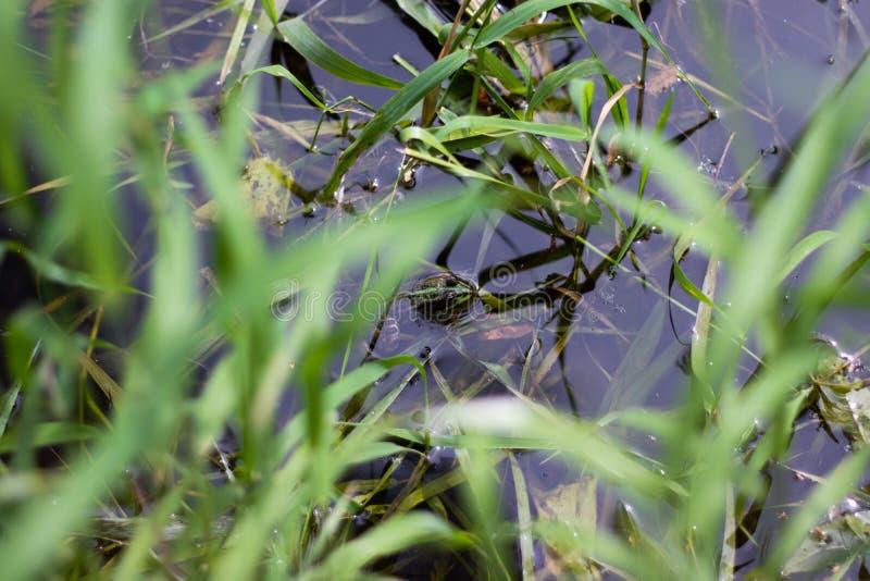 等待在河的青蛙 免版税图库摄影
