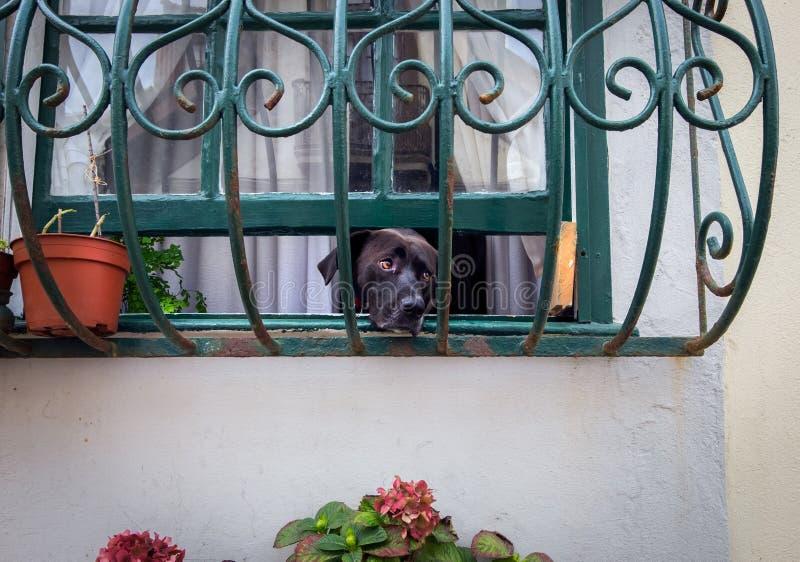 等待所有者的到来 狗在视窗里 免版税库存照片