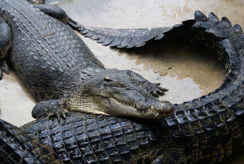 等待的哺养 在一个鳄鱼农场在泰国 免版税库存图片