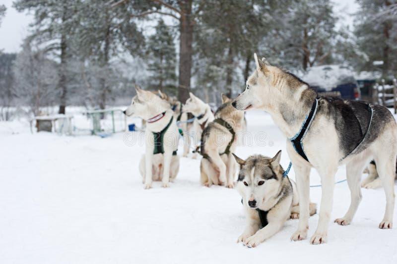 等待的拉雪橇狗跑 免版税库存图片